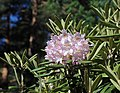 Rhododendron Tuiranpuisto Oulu 20180521 05.jpg