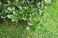 Rhododendron campanulatum 'Knaphill' - RHS Garden Harlow Carr - North Yorkshire, England - DSC01181.jpg