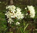 Rhododendron tomentosum-Zydintis gailis2011.jpg