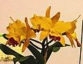 Rhyncattleanthe Guanmiau Homei x Cattlianthe Little Fairy -台南國際蘭展 Taiwan International Orchid Show- (39891594025).jpg