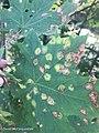 Rhytisma acerinum 150977673.jpg