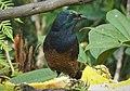Ribbon-tailed Astrapia female. (Astrapia mayeri) (48889640233).jpg