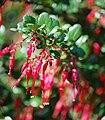 Ribes speciosum.jpg