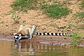 Ring-tailed lemur (Lemur catta) 2.jpg