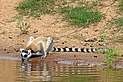 Ring-tailed lemur (Lemur catta) 2.jpg