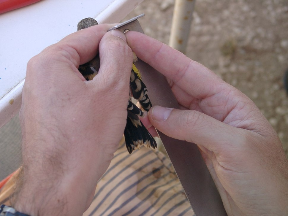 Ringing 07 Measuring wing