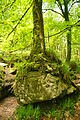 Rock and tree in Draynes Wood (3992).jpg