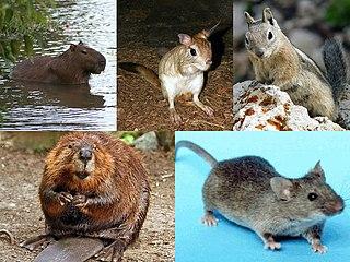 Rodent Diverse order of mammals
