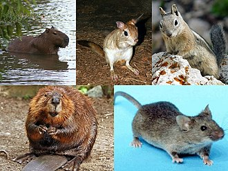 Rodent - Clockwise from top left: capybara, springhare, golden-mantled ground squirrel, house mouse and North American beaver representing the suborders Hystricomorpha, Anomaluromorpha, Sciuromorpha, Myomorpha, and Castorimorpha, respectively.