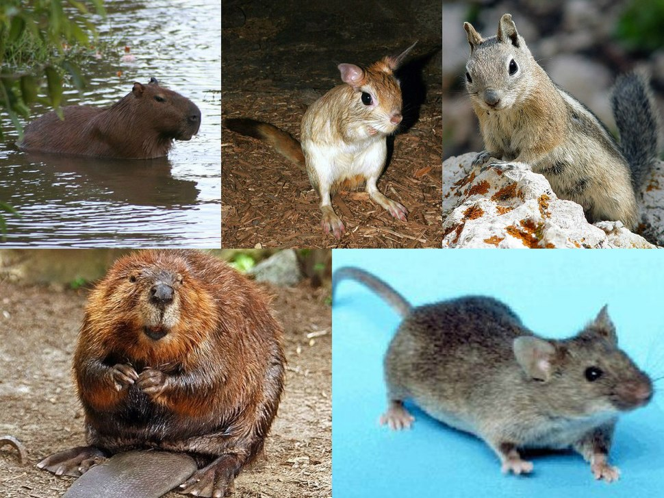 Rodent collage