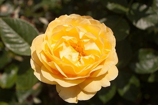 Rosa 'Absolutely Fabulous' IMG 4413