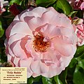 "Rosa ""Fritz Nobis"". 01.jpg"