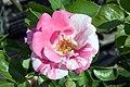 Rosa Berries n Cream 1zz.jpg