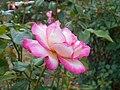 Rosa Handel 2018-07-10 5968.jpg