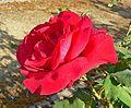 Rosa Lissy Horstmann 2.jpg