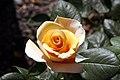 Rosa Marilyn Monroe 0zz.jpg