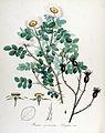 Rosa coronata — Flora Batava — Volume v14.jpg