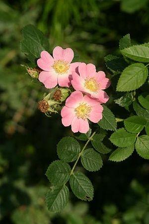 Rosoideae - Rosa rubiginosa, eglantine rose