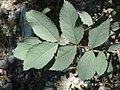 Rosa glauca leaf (02).jpg