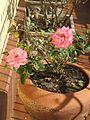 Rosa sp roseira.jpg