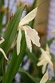 Roscoea x beesiana Cream 060705.jpg