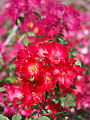 Rose, Cocktail, バラ, カクテル, (9453200954).jpg