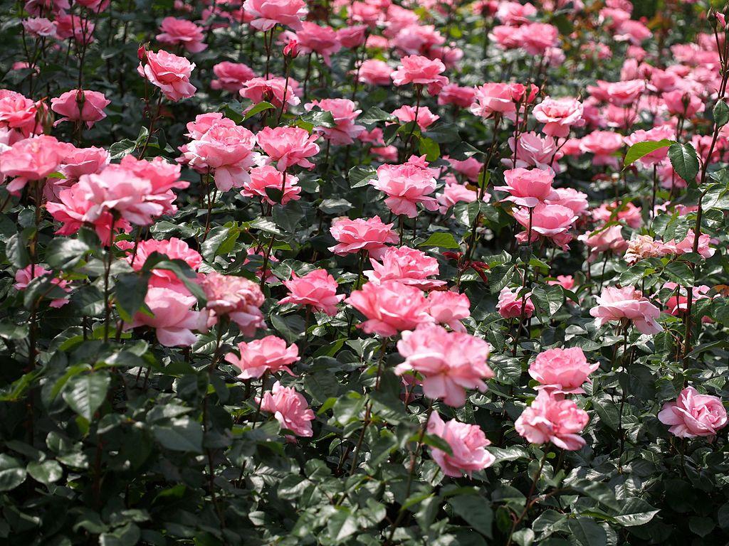 Image result for queen elizabeth grandiflora rose