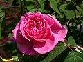 Rose P5303425.jpg
