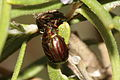 Rosemary beetle - an invasive species, but here- at home (8708941322).jpg