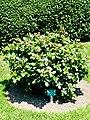 Rosengarten der Stadt Köln Rosa 'Eden85' 4.jpg