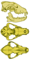 Rosevear African wild dog skull.png