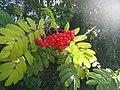 Rowan-berries (Sorbus aucuparia), Sweden, 20150828b.jpg