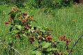 Rubus allegheniensis NRCS-014.jpg