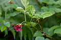 Rubus vernus 01.jpg