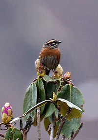Rufous-breasted Accentor I IMG 7249