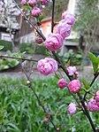 Ruhland, Grenzstr. 3, Mandelbäumchen, Zweig mit Blüten, Frühling, 02.jpg