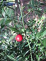 Ruscus aculeatus12.jpg