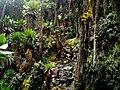 Rwenzorii - panoramio (2).jpg