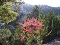 Sabine Beckmann Acer sempervirens in Kritsa Cypress forest 11 08.jpg