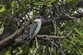 Sacred Kingfisher - Surabaya - East Java MG 6112 (29731985311).jpg