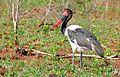 Saddle-billed Stork (Ephippiorhynchus senegalensis) female (32534469984).jpg
