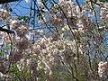 Saint Petersburg. Chinese Garden. Sakura tree2019 03.jpg