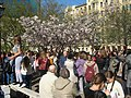 Saint Petersburg. Chinese Garden. Sakura tree2019 06.jpg