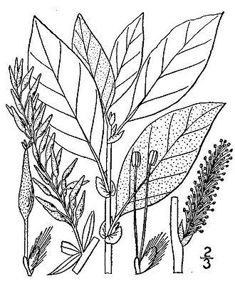 Salix bebbiana - Image: Salix bebbiana