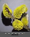 Salix caprea sl6.jpg
