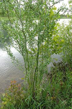 Salix matsudana SCA-03466.jpg