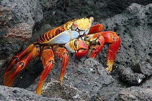 Malacostraca - Grapsus grapsus, a terrestrial crab