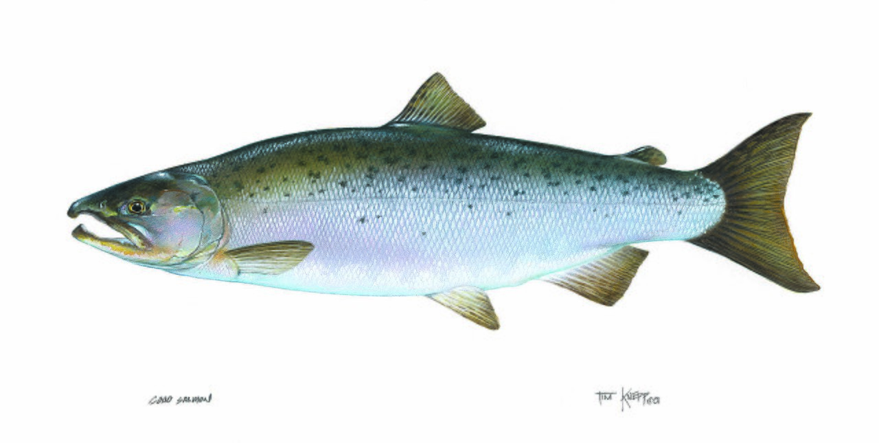 File salmon coho fish oncorhynchus wikimedia for Salmon fish pictures