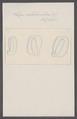 Salpa suborbicularis - - Print - Iconographia Zoologica - Special Collections University of Amsterdam - UBAINV0274 092 08 0047.tif