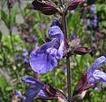 Salvia-officinalis-flower.jpg